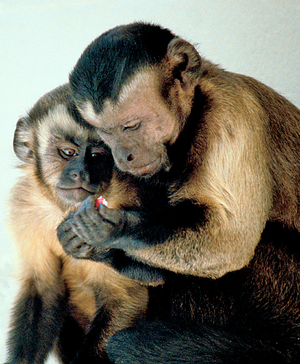 Capuchin Monkeys Sharing