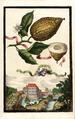 Cedro col Pigolo Volkamer 1708 122.png