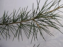 Cedrus deodara leaves closeup.jpg