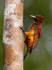 Celeus grammicus - Scaly-breasted woodpecker (female), Manacapuru, Amazonas, Brazil.jpg
