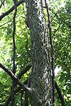Celtis occidentalis 09639.jpg