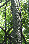 Celtis occidentalis 09639.jpg