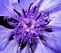 Centaurea cyanus 03 ies.jpg