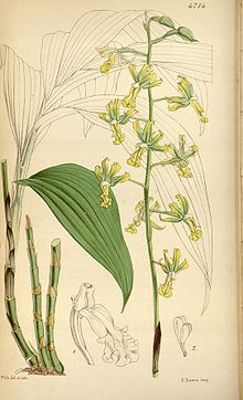 Cephalantheropsis obcordata (as Calanthe gracilis) - Curtis' 79 (Ser. 3 no. 9) pl. 4714 (1853).jpg