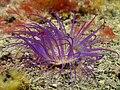 Ceranthidae (Purple irridescent tube anemone).jpg