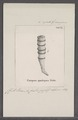 Ceriopora quadripora - - Print - Iconographia Zoologica - Special Collections University of Amsterdam - UBAINV0274 093 16 0005.tif