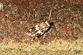 Cf. Oegoconia quadripuncta (FG) (23667518614).jpg