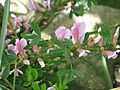 Chamaecytisus purpureus - Flickr - peganum.jpg