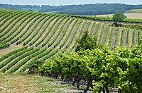 Champagne-Vigny 16 Vignoble 2013.jpg