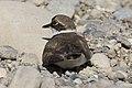 Charadrius dubius - Little ringed plover 08.jpg