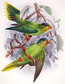 Drawing of two light green parrots with darker wings, red beaks, and yellow chins and tail tips