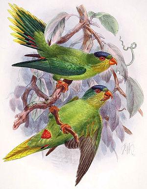 New Caledonian lorikeet - Image: Charmosyna diadema