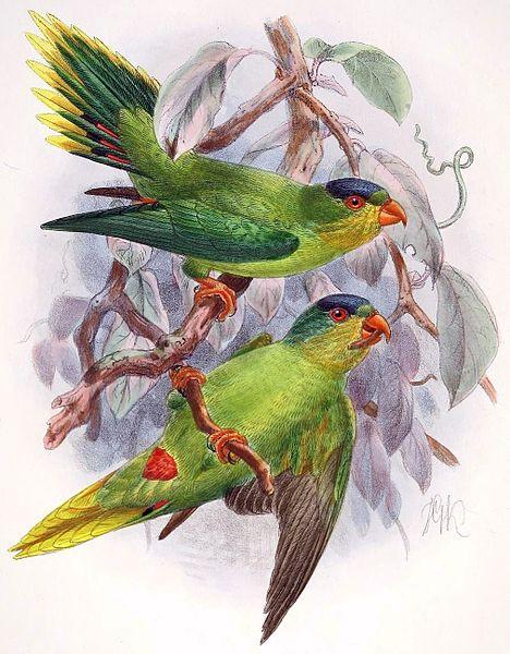 New Caledonian lorikeet -Description