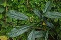 Chassalia curviflora 8409.jpg