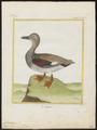 Chaulelasmus strepera - 1700-1880 - Print - Iconographia Zoologica - Special Collections University of Amsterdam - UBA01 IZ17600463.tif