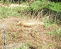 Cheetah (Acinonyx jubatus) at Jacksonville Zoo.jpg