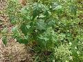 Chenopodium hybridum leaf (2).jpg