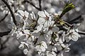 Cherry Blossom32515.jpg