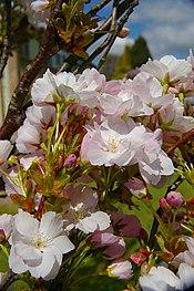 Prunus Serrula Wikipedia