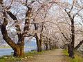 Cherry Blossom - panoramio - tsushima.jpg