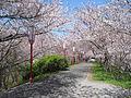 Cherry blossoms at Miyagawa-Tsutsumi02.jpg