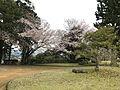 Cherry blossoms in Kameyama Park 4.jpg