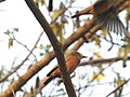 Chestnut tailed starling-kahhur@ - 2.jpg