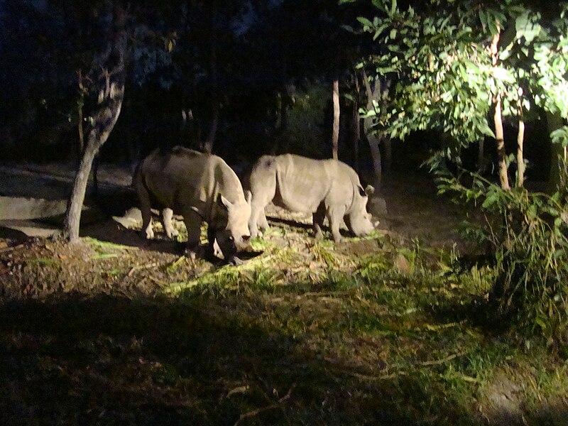 Rhinos in  Chiang Mai Night Safari
