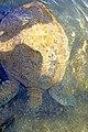 Chile-02821 - Sea Turtle (49072256588).jpg