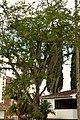 Chiminango (Pithecellobium dulce) (14412214554).jpg