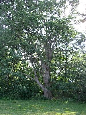 Quercus muehlenbergii - Mature tree