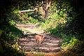 Chital or Spotted deer at Chitwan National Park (4).jpg