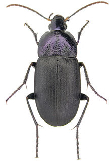 Licininae subfamily of insects