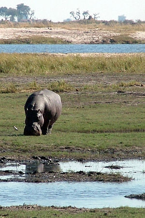 Wildlife of Botswana - River front in Chobe National Park