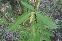 Chosenia arbutifolia leaves and catkins.jpg