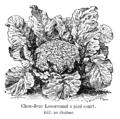 Chou-fleur Lenormand à pied court Vilmorin-Andrieux 1904.png