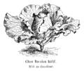 Chou Bacalan hâtif Vilmorin-Andrieux 1904.png