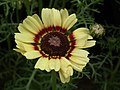 Chrysanthemum from Lalbagh flower show Aug 2013 8333.JPG