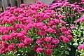 Chrysanthemum x grandiflorum Marjorie 3zz.jpg