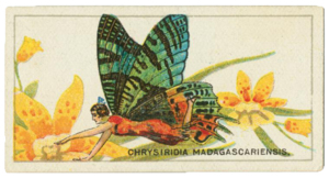 Cigarette card - Chrysiridia rhipheus cigarette card, 1928