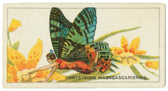 Cigarette card - Chrysiridia rhipheus cigarette card, 1928
