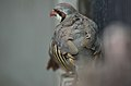 Chukar (Lahore Zoo) by Damn Cruze 2.jpg