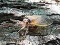 Cicada at Cave Run Lake - Morehead, Kentucky - Louisville USACE.jpg