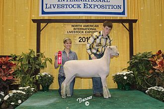 Southdown sheep - An American Southdown fall ewe at the NAILE Livestock show