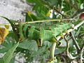 Citheronia caterpillar 3.jpeg