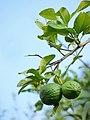 Citrus aurantiifolia by Kadavoor.jpg