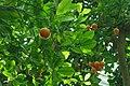 Citrus x microcarpa.jpg