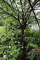 City of London Cemetery - flowering shrubs 16.jpg