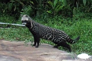 Civet Mammals of the families Viverridae and Nandiniidae