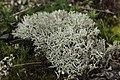 Cladonia arbuscula 63599458.jpg